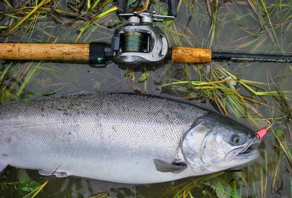 Columbia chinook puget sound coho pink salmon for Salmon fishing puget sound