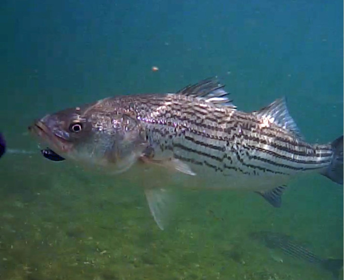 Striper attacks a lure underwater for Striper fish pictures